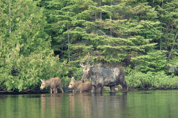 Moose Family on Poplar Lake