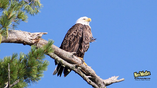 Eagle at Towering Pines - NorWester Lodge - Wildlife on Gunflint Trail
