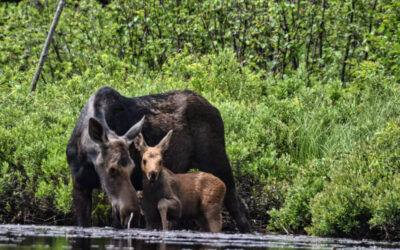 Moose with her calf